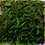 Thumbnail: Fissidens Splachnobryoides mat