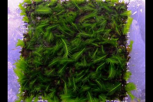 Fissidens Splachnobryoides mat