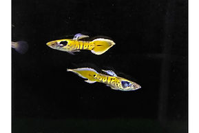 Gold Cobra Endler 2-1200x800.jpg