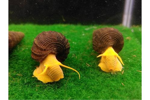 """Rabbit Snail sp """"Pure Orange"""" 1"""""""
