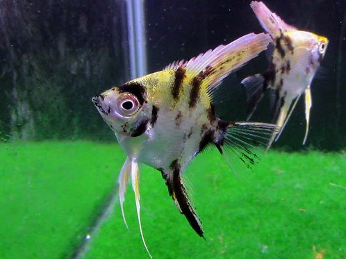Gold Marble Angelfish Short Fin