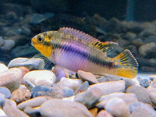 """Pelviachromis Suboccelatus """"Matadi"""" 1.5"""""""