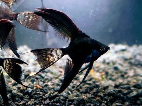 Double Black Veil Angelfish