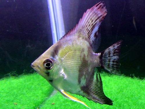 Smokey Angelfish Short Fin