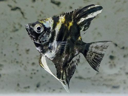 Black Marble short fin