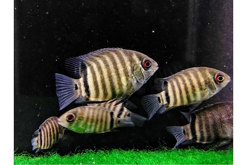 """Red sided Severum 1.5""""-2"""""""