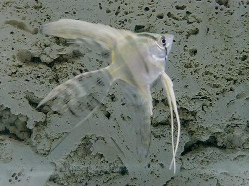 Silver Angelfish Long Fin