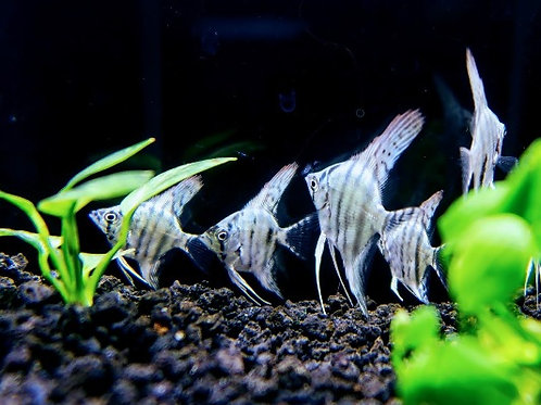 Large Pair Blue Angelfish