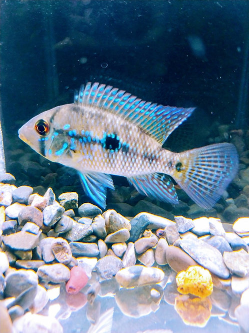 """Geophagus Braziliensis """"Pearl Cichlid"""" 1.5"""""""