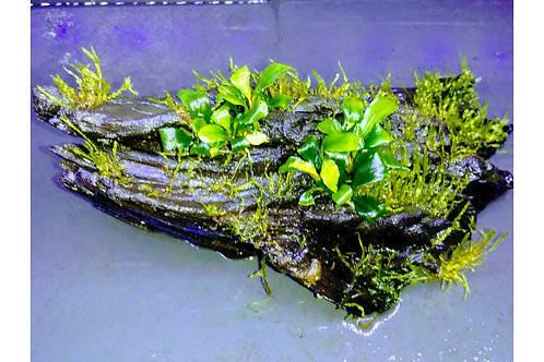 "Driftwood with Java Moss and Bucephalandra 5""-6"""
