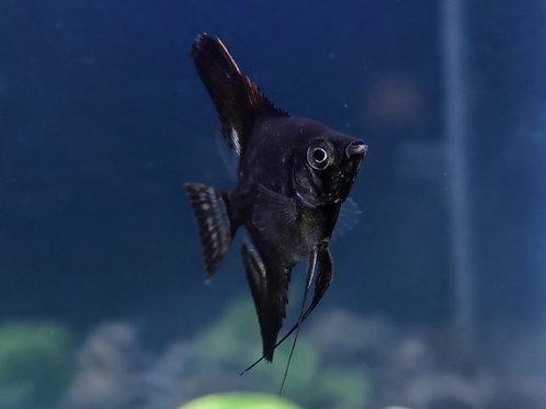 Double Black Angelfish