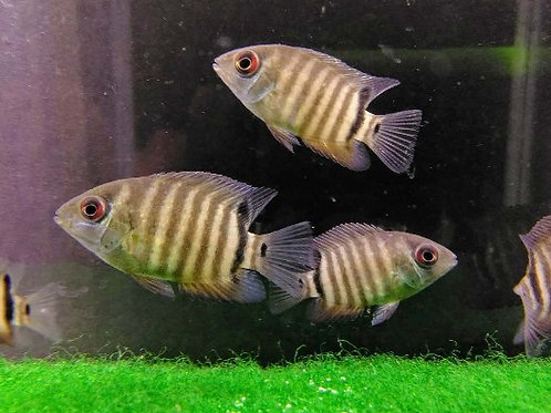 """Red sided Severum 1.25""""-1.5"""""""