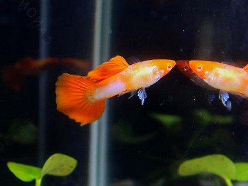 """Albino Koi Guppy 1""""-1.25"""""""