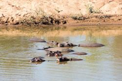 Kruger_Hippos