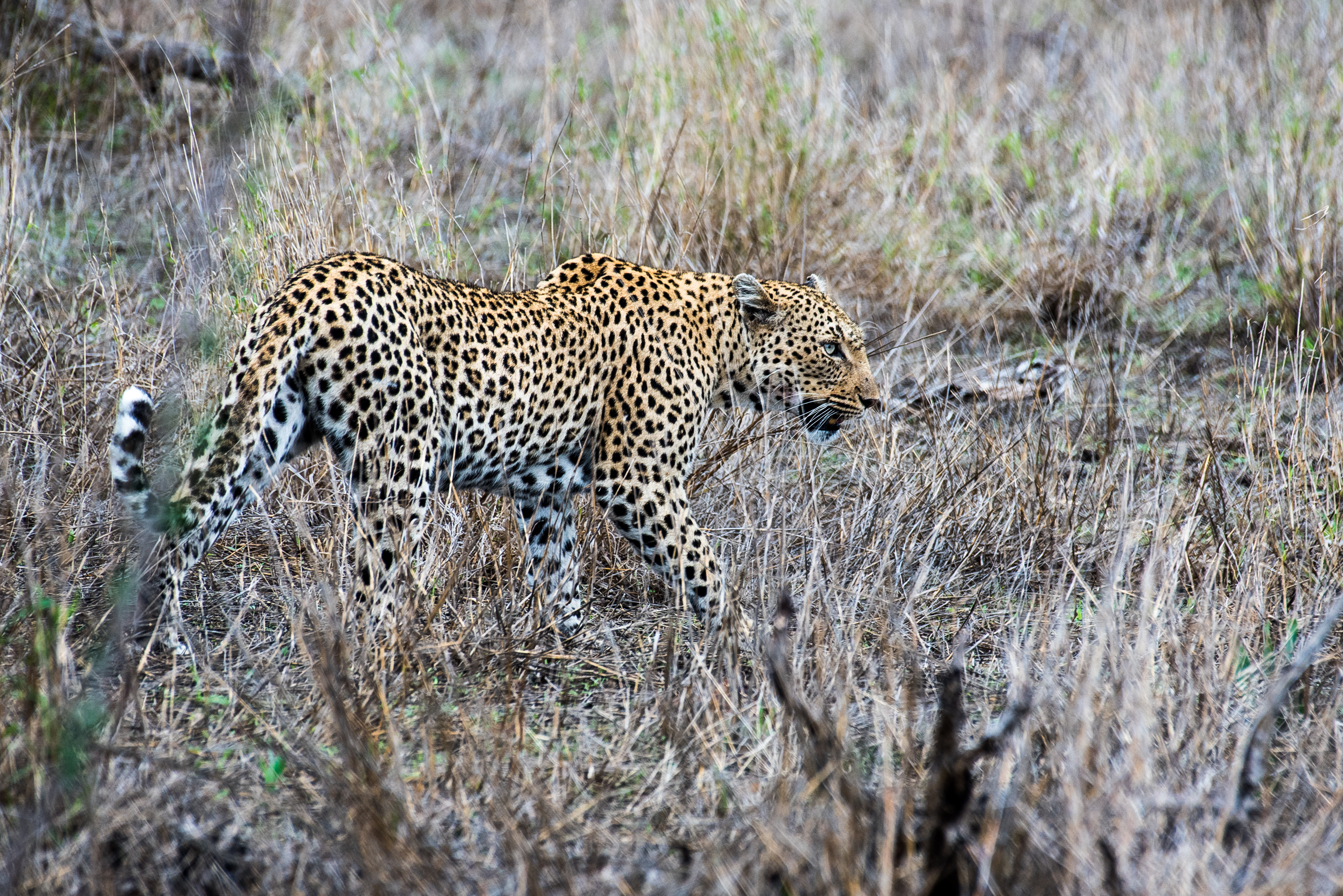 Kruger_Leopard