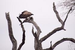Kruger_Vulture