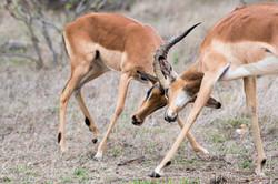 Kruger_ImpalaFight
