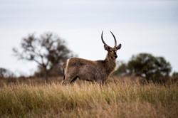 Kruger_Waterbuck2