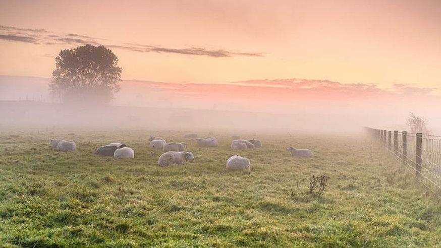 animal-sheep-field-fog-wallpaper-preview