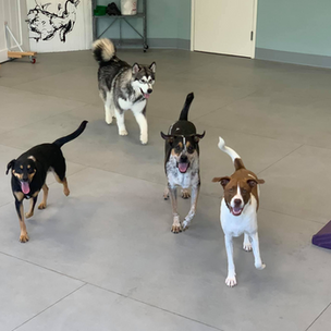 dogs having fun at Coventry day camp in Howard County, Maryland