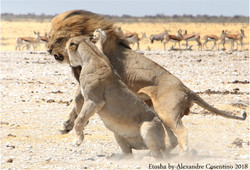 Le couple royal d'Etosha