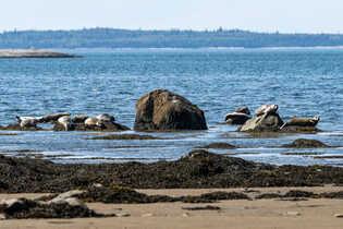 Un groupe de phoques - Parc du BIC Rimousky