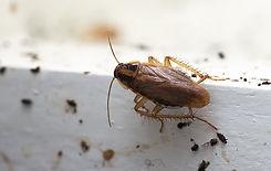 german-cockroach-control.jpg