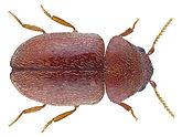 cigarette-beetle.jpg