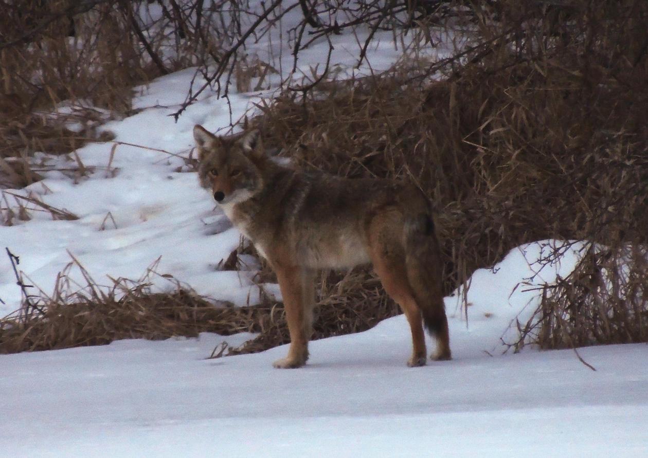 coyote 3.jpg
