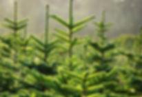 dreams_11161489-pinetrees.jpg