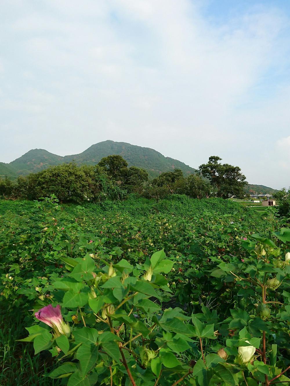 綿畑と二上山