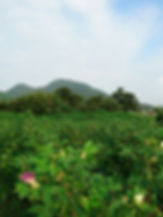 綿畑と二上山.jpg