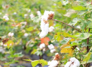 収穫と繰り綿