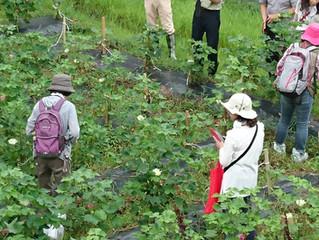 育てよう!奈良さくらコットン 「綿の花の観察と糸紡ぎの体験」を開催しました。