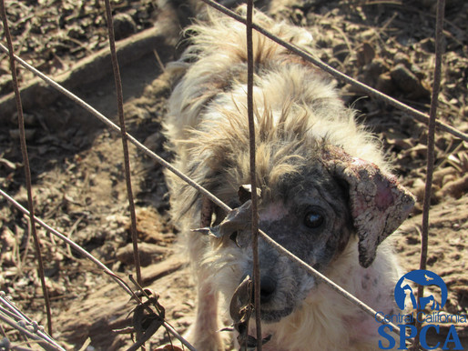 Central California SPCA investigation results in felony charges filed againt Laton rescue for neglec