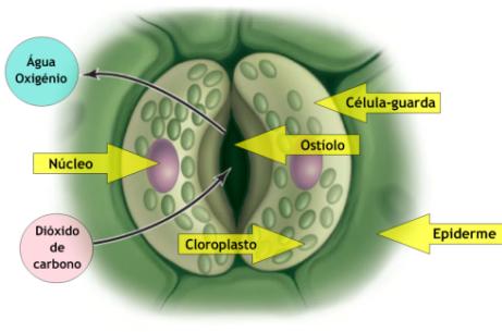 Resultado de imagem para células guarda