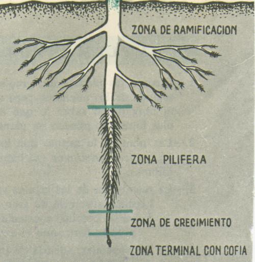 Resultado de imagem para raiz da planta nomeada