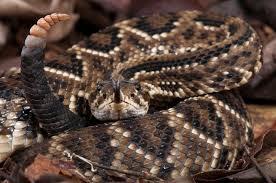 Algumas cobras peçonhentas do Brasil