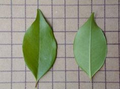 Resultado de imagem para folhas uninervea