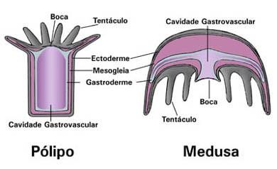 Resultado de imagem para pólipo cnidaria