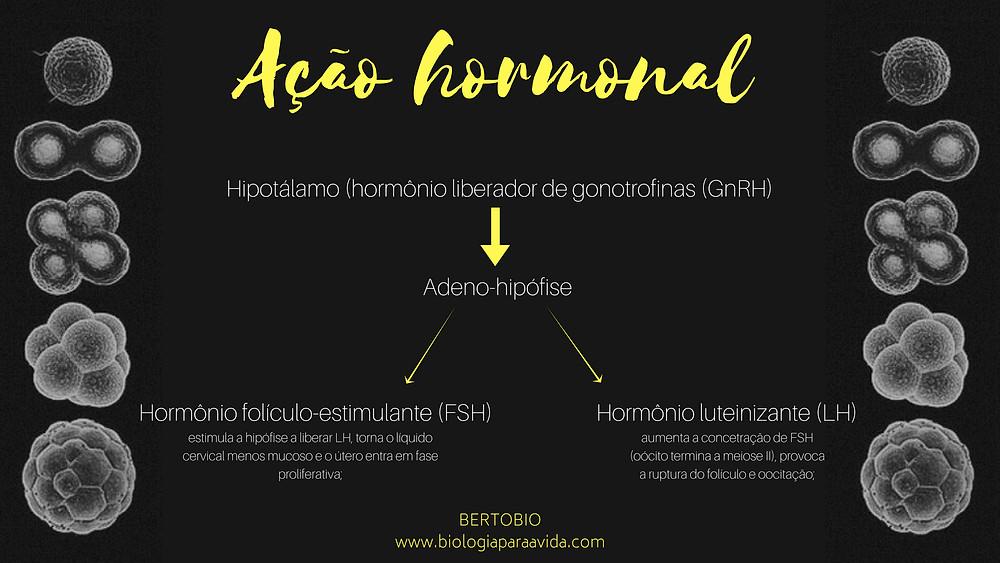 Espermatogênese (2)