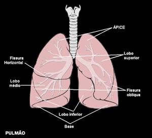 Resultado de imagem para pulmão direito e esquerdo fissuras