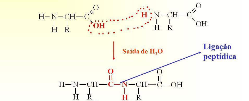 A LIGAÇÃO PEPTÍDICA Ligação peptídica Saída de H2O Grupo amida
