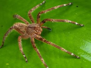 Principais aranhas de interesse médico