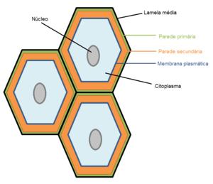Resultado de imagem para lamela media parede primaria e secundaria