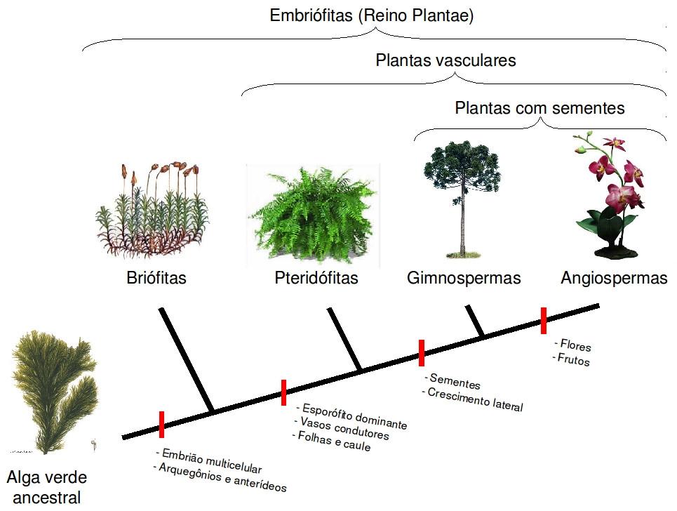 Resultado de imagem para plantas briofitas e pteridofitas gimnospermas e angiospermas