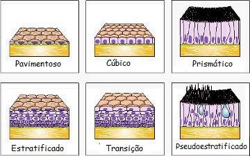 Resultado de imagem para tipos de epitelio