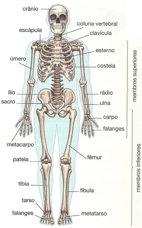 Resultado de imagem para ossos