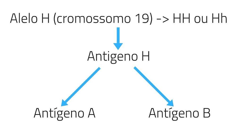 Alelo H (cromossomo 19) -_ HH ou HhAntigeno H