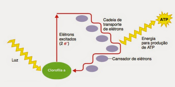 Fotossistema-I-fotofosforilação-cíclica-imagem-das-etapas-da-fase ...